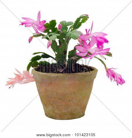 Christmas Cactus (schlumbergera) Isolated On White Background