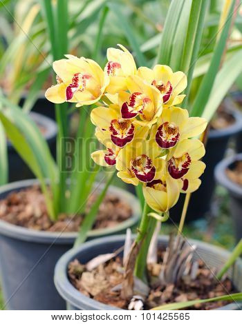 Yellow Cymbidium Orchid In Pot