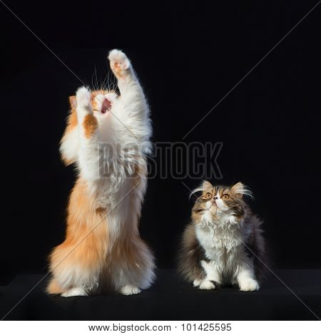 Two Persian Cats Of Different Coloring