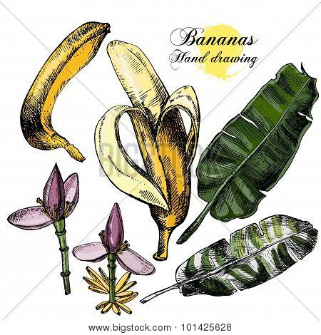 Hand drawing bananas. Flowers, fruit and leaves on a white background.