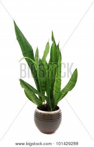 Sansevieria Plant Isolated