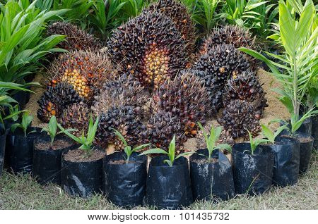 Seed And Oil Palm Sapling