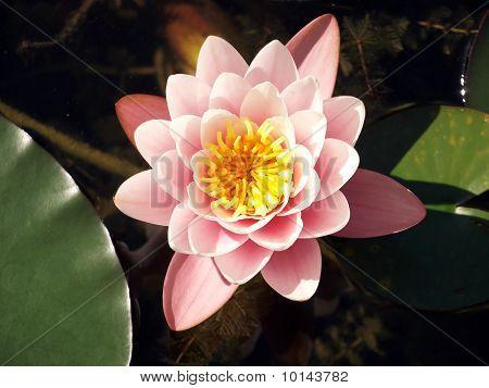 Beautiful water-lily