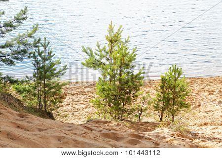 Small Pine On The Sandy Beach