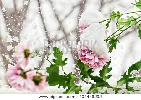 Early Snow On Pink Chrysanthemums