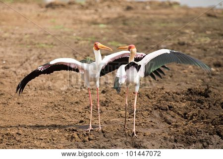 Two Yellow Billed Storks Fight For Domination Of Territory At Dam