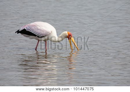 Yellow Billed Stork Hunt Fish In Shallow Water Of A Dam