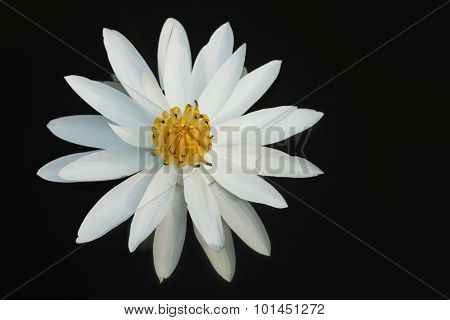 Waterlily Isolated On black
