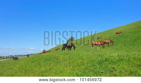 Swiss Warmblood Horses In Einsiedeln