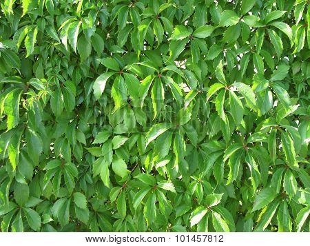 green woodbine