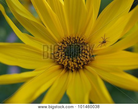 Spider On Yellow Flower, Southern Bohemia