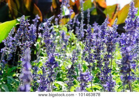Salvia Bush
