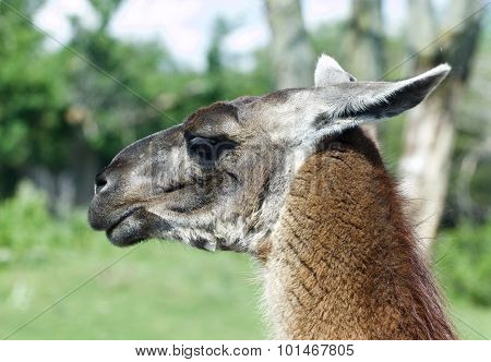 The Portrait Of The Thoughtful Llama