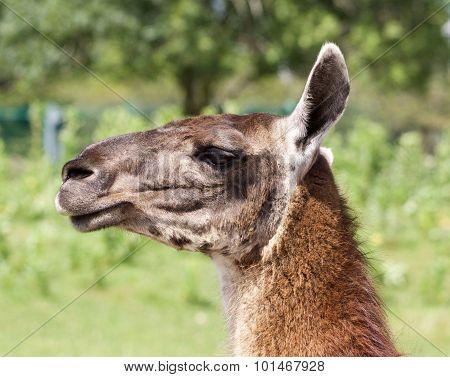 The Llama's Portrait