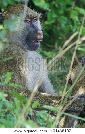The Amazement Of A Baboon