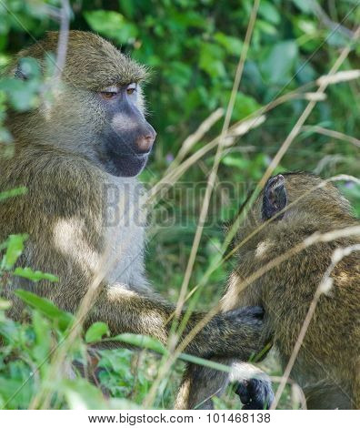 The Helping From The Baboons
