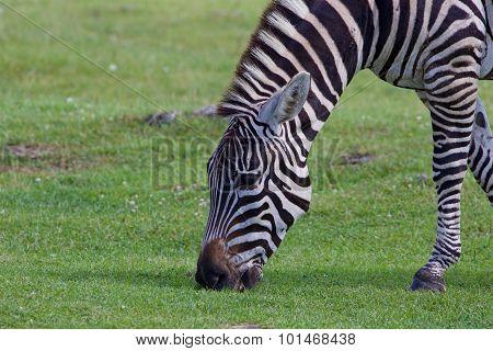 The Portrait Of A Zebra