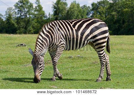 Zebra Is Going Through The Grass Field