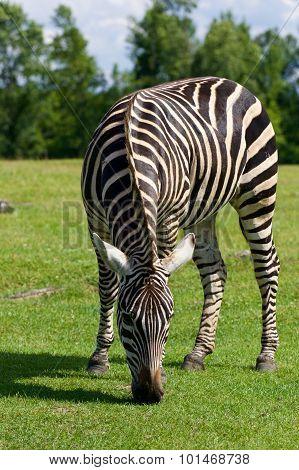 Zebra's Background