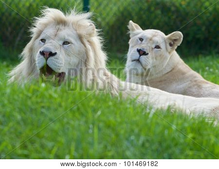 A Pair Of The Beautiful And Dangerous White Lions