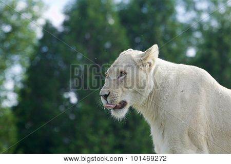 Beautiful Close-up Of A White Lion