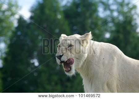 Very Beautiful Background With The Screaming White Lion