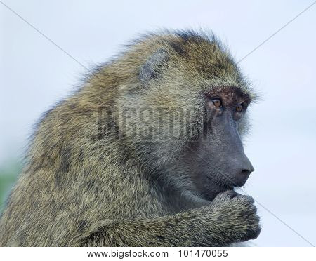 Thoughtful Funny Baboon's Portrait
