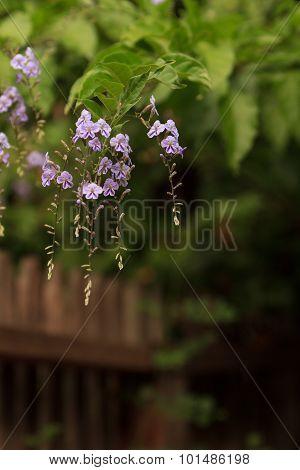 Geisha Girl, Duranta erecta, purple flower on a tree