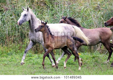 Group Of Arabian Horses Galloping On Beautiful Natural Environment