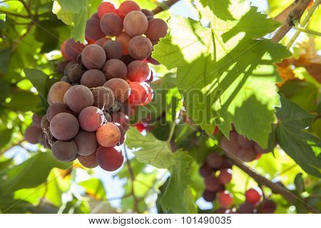 Vine Arbor Grapes