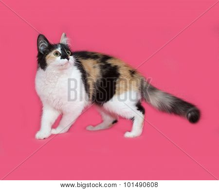 Tricolor Fluffy Kitten Standing On Pink