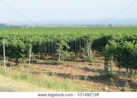 Grape gardens