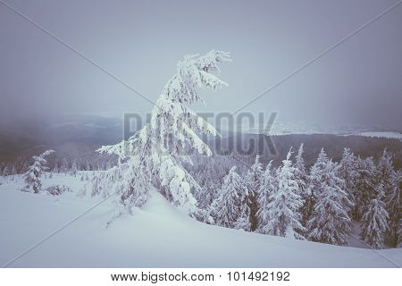 Christmas view. Snow covered forest in the mountains. Landscape in gray tones overcast day. Color toning. Low contrast