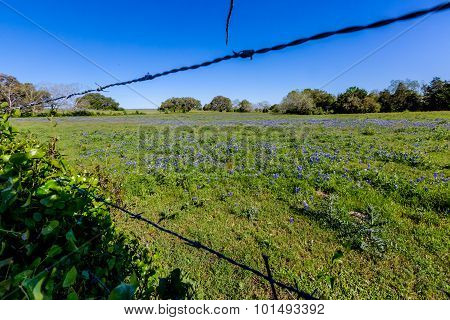 Through the Fence View Of A Beautiful Field Blanketed with Texas Bluebonnets