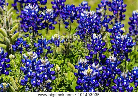 Cluster of the Famous Texas Bluebonnet