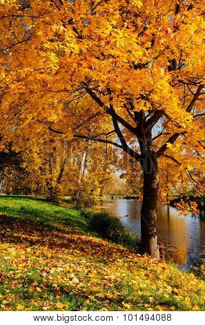 Maple with yellow leaves. Autumn in the park with a river