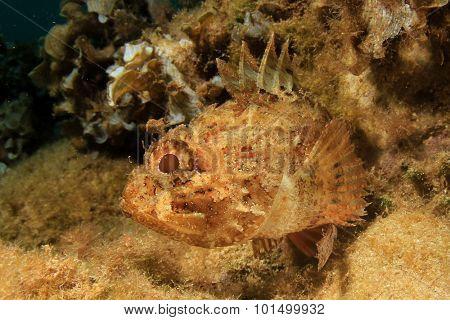 Mediterranean Scorpionfish