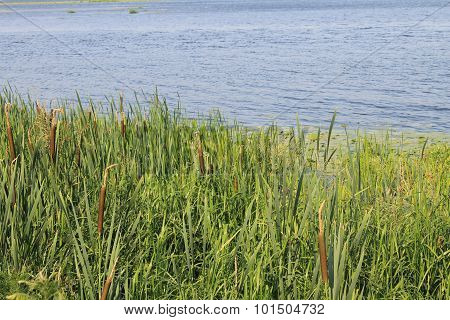 Green reeds in the river