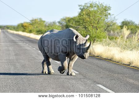 Black Rhinoceros - Etosha National Park, Namibia