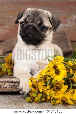 pug puppy and flower