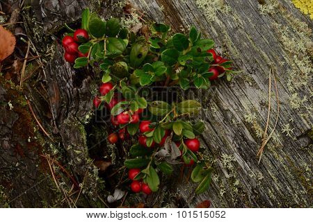 Bush Cranberries With Red Berries On The Old Trunk Of A Fallen Pine