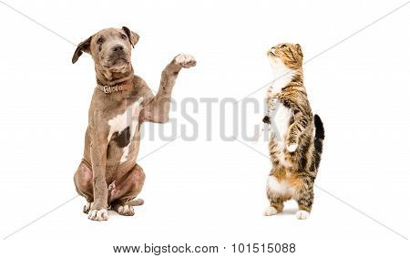 Playful puppy Pit bull and a cat Scottish Fold