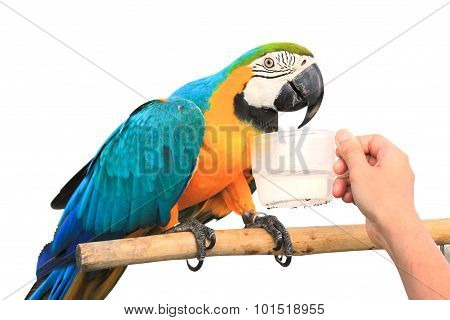 Drinking Water Of Macaw Parrot  Isolated On White Background With Clipping Path