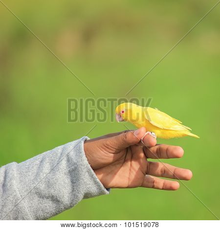 Sun Conure Parrot perched on hand on green background