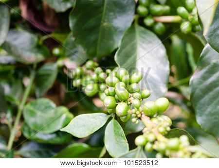 Green Coffee Beans On The Branch In Vietnam