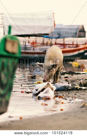 Pig searching for food in garbage.