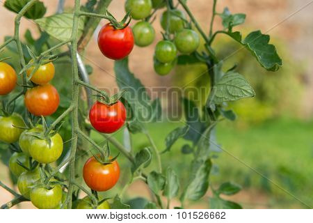 Ripe and green tomatoes in the vegetable garden