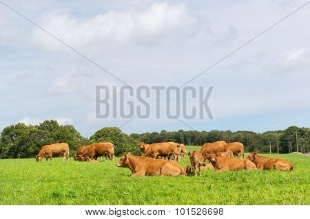 Typical Limousin cows in the French pastures