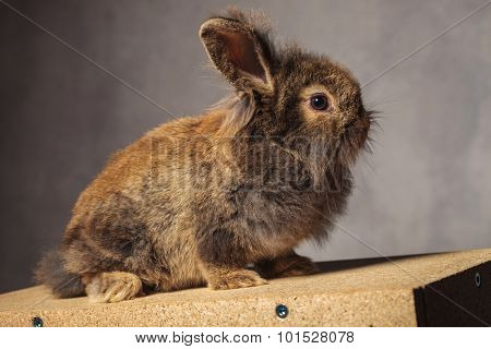 Side view of a brown lion head rabbit bunny sitting on a wood box.