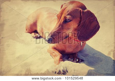 Broun Dachshund sitting on the beach, vintage style filtering